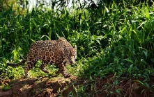 Pantanal, nel regno del giaguaro